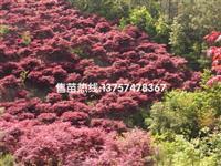 红枫 浙江红枫低价供应 红枫规格齐全