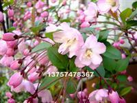 浙江垂丝海棠苗圃直供 垂丝海棠规格全价格低