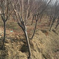 供应榉树、紫薇、紫叶桃、红枫、重阳木、美人梅