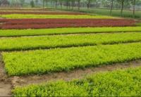 红叶小檗、红王子锦带、红叶石楠,金叶女贞,冬青,龙柏小苗