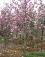 榉树,红白黄紫玉兰,樱花.广玉兰.大中小叶麦冬草.大小叶黄杨