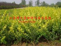 红叶小檗、金叶女贞、金丝桃、水蜡、卫矛、剑麻、紫穗槐