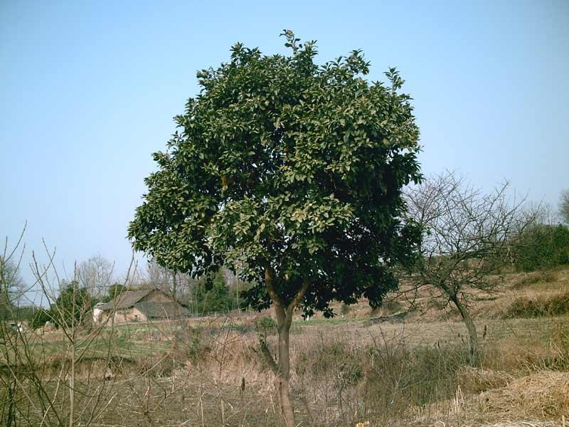 柚子树的种植技术 柚子树的栽培 柚子树