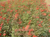 紅帽、曼海姆月季、地被月季、無刺薔薇