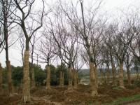 榉树、法桐、垂柳、紫薇、合欢.栾树.红枫,紫荆、紫叶李