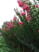 榉树、百日红.法国梧桐.国槐,水杉,香花槐、紫叶李、高杆女贞