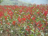 红叶石楠、红王子锦带、红叶小檗、金叶女贞、海桐、品种月季