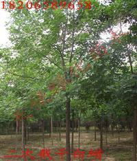 供应优质白蜡树,白蜡报价,山东白蜡基地,精品白蜡