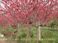 红叶碧桃,红碧桃,垂枝桃,红叶李,紫叶李,夹竹桃