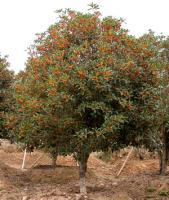 寿星桃,棕榈,四季含笑球,八月桂花,金桂,银桂,丹桂