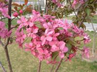红宝石海棠、红景天、花毛茛