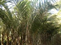 棍棒椰子、国王椰子、狐尾椰子