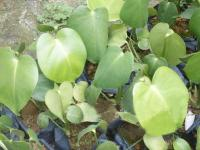 龟背竹、海芒果、海南红豆