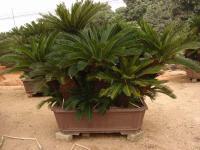 铁树(苏铁)、细叶榄仁、20公分小叶榕