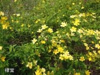 铺地海棠,棣棠,马蹄金草坪,白三叶,六月雪,指甲草,红花草