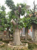 高山榕、桂花、国王椰子
