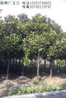 耐寒广玉兰树,辛夷树,合欢树,黄山栾树,法桐树,青桐树