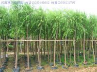 柳树,银芽柳,银柳马褂木树,云杉树,水杉树,池杉,柳杉,杨树