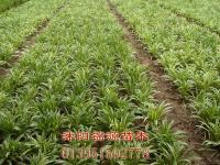 美人蕉、麦冬草、红花(紫叶)炸浆草