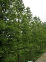 中山杉、落羽杉、木麻黄、海滨木槿、凌霄
