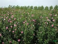 榉树.红枫.木槿.意杨.?;?紫薇.合欢.高杆女贞