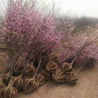 刺槐树,臭椿树,苦楝树,梅花树,红梅树,珍珠梅,美人梅花树