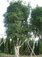 棕榈,四季含笑球,八月桂花,金桂,银桂,丹桂,四季桂花