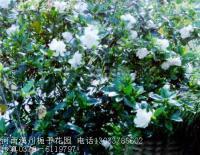 小叶栀子花,悬铃木,红王子锦带,十大功劳,剑麻,丝兰,蔷微
