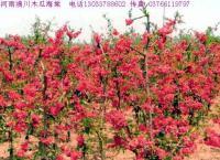 夏鹃,紫鹃,红宝石海棠,四季海棠,梨花海棠,铺地海棠,棣棠