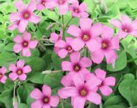 红花醡浆草,红花草,蛇莓,白花葱兰,红花葱兰,美人蕉,紫藤