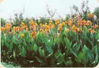 美人焦,鳶尾,爬墻虎,五葉地錦,蔥蘭,麥冬,紅花酢漿草,紫葉