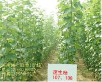 欧美107杨,白腊,楸树,杜英,重阳木,杨梅,川楝,柿树