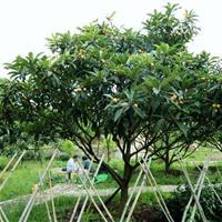 果树价格:杏树、板栗树、枇杷、桔子、樱桃树、梨树、枣树、桃树