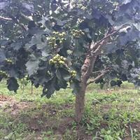 果树售价:石榴、李子、柿树、寿星桃、紫叶李、核桃、红宝石海棠