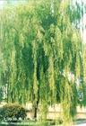 馒头柳,垂柳,柳树,银芽柳,马褂木,云杉,水杉,池杉,柳杉