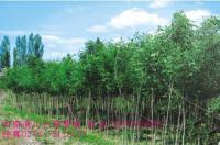 川楝,柿树,柿子树,拐枣,乌桕,枫杨,杜梨,棠梨,刺槐