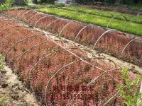 金邊黃楊 薔薇 紅葉石楠等扦插小苗、籽播小苗