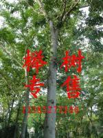 櫸樹、櫻花.意楊.黃連木,樸樹.金銀花、枸杞、銀杏、龍柏