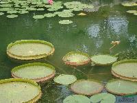 盆栽荷花,王莲,纸莎草