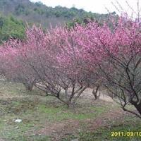 梅花树,红梅,珍珠梅,美人梅,腊梅树,绿萼梅,绿梅,白梅