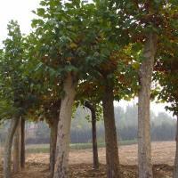 法国梧桐,乐昌含笑,七叶树,香樟,银杏,国槐,香花槐,盘槐,