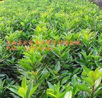 耐寒植物耐寒香樟、耐寒广玉兰、耐寒法国冬青、八角金盘、白玉兰