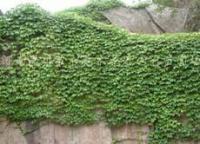 常春藤價格,爬墻虎價格,爬山虎價格,五葉地錦價格,紫藤價格