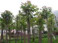 喜树、香樟、雪松