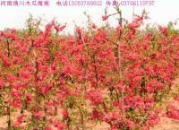 红宝石海棠,四季海棠,梨花海棠,铺地海棠,棣棠