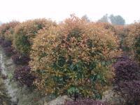 红叶石楠球|高干红叶石楠|低价红叶石楠球