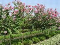 紫薇、紫荆、红叶石楠.红王子锦带、火棘、海棠、海桐、龟甲冬青