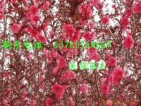 贴梗海棠价格,垂枝梅,红叶碧桃价格,红碧桃,红叶李价格
