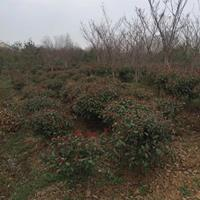 红叶石楠球/100厘米红叶石楠球/红叶石楠球基地/红叶石楠球