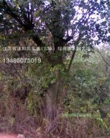 榉树.?;?垂柳.蜀桧、龙柏、合欢.栾树.广玉兰.雪松